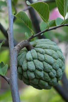 It is native to the tropical Americas and south Asia. The fruit flesh is sweet, white to light yellow, and resembles and tastes like custard. Sugar-apple has a very distinct, sweet-smelling fragrance. Fruit And Veg, Fruits And Vegetables, Fresh Fruit, Fruit Trees, Trees To Plant, Strange Fruit, Beautiful Fruits, Tropical Fruits, Delicious Fruit