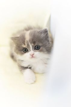 Sweet kitten - Scottish-straight cat.