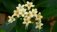 กันเกรา - Fagraea fragrans Roxb. 2 September 2013