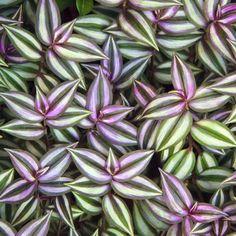 Purple Wandering Jew, Wandering Jew, Inch Plant (Zebrina pendula)