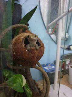 Keep your crested gecko with the perfect habitat. We researched the best terrarium for crested gecko. Learn about crested gecko tank size, setup. Reptile Habitat, Reptile Room, Reptile Pets, Reptile Cage, Reptile Enclosure, Lizard Habitat, Crested Gecko Habitat, Crested Gecko Vivarium, Terrariums Gecko
