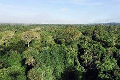 Floresta intacta no norte de Mato Grosso, região de intensa pressão madeireira e…