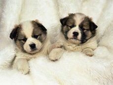Sladký bratr štěňata, psi