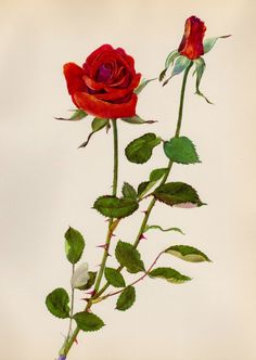 Lovely Red Rose Print SALE Botanical Flower Print Gallery Wall