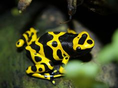 yellow and black poison frog | RANAS de colores (frogs)