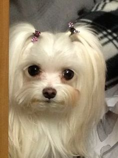 Tiny Pixel: Pixel is lbs at 6 yrs old. My tiny Maltese and sweet. I keep her in full coat, which requires weekly baths and almost daily grooming. Teacup Maltese, Teacup Puppies, Maltese Dogs, Cute Puppies, Cute Dogs, Dogs And Puppies, Doggies, Animals Beautiful, Cute Animals