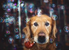 dog-photography-chuppy-golden-retriever-jessica-trinh-8 - https://www.facebook.com/different.solutions.page - https://www.facebook.com/different.solutions.page