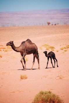 Newborn baby camel - free camels in the Sahara desert - nomad camels Morroco Camel Tow, Baby Camel, Beautiful Horses, Animals Beautiful, Animals And Pets, Baby Animals, Desert Sahara, Bactrian Camel, Desert Animals