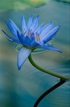 Egytptian lotus