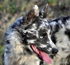 Mudi :)  Absolutely stunning! they are a rare dog breed  in the herding category from Hungary.