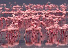 Flamingos on Lake Nakuru National Park, Kenya