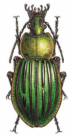 Carabus nitens (Carabidae)