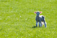 Lambs in New Zealand...This IS New Zealand! This is the time of year (August - October) when you see these sweet little animals.