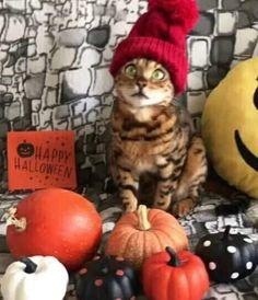 Happy Halloween, Animals, Cat Breeds, Animales, Animaux, Animal, Animais