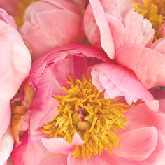 I love these kind of peonies with the bright fuzzy centers. So warm and inviting. Those middles just scream for a touch. #peony #pink #yellow