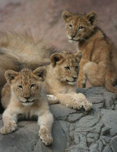 Sacramento Zoo's Lion Cubs Join