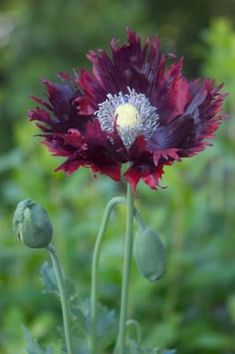 Full size picture of Opium Poppy, Breadseed Poppy, Lettuce Leaf Poppy (Laciniatum Group) 'Drama Queen' (Papaver somniferum) Drama Queens, O Drama, Black Flowers, Flower Pictures, Flower Seeds, Tropical Flowers, Flower Decorations, Garden Inspiration, Garden Plants