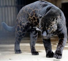 bet u didn't know panthers have spots...