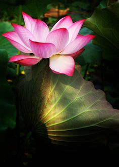 My favorite flower. Lotus flowers mean purity of speech, mind, and body.rising above the waters of desire and attachment. the lotus is a symbol for awakening to the spiritual reality of life. My Flower, Flower Power, Lotus Flowers, Lotus Blossoms, Language Of Flowers, Growing Flowers, Flower Meanings, Mother Nature, Magnolia