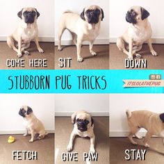 """This is so true! After having a Shepherd I was surprised how difficult some dogs can be to train! I read a pug book that pretty much said """"Good Luck"""" with training"""