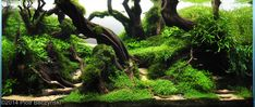 "#IAPLC201 Entry #505: 182L Aquatic Garden: ""The Secret Land"" by Piotr Beczynski, Lublin lubelskie Poland | Third Place | Plants Bucephalandra, Hemianthus callitrichoides, Utricularia graminifolia, Microsorium sp., Bolbitis heudelotii, Rotala sp., Fissidens fontanus, Vesicularia sp., Staurogyne sp., Cryptocoryne parva"