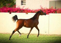 Smart arabian horse
