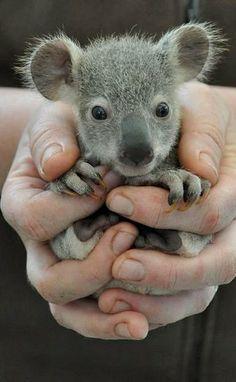 baby koala..!