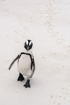 """Africa's one endemic penguin breeds in 27 scattered colonies along the coast of the Western Cape and Namibia, 24 on islands and three on the mainland. Like all penguins, its wings are modified into flippers, which allow great speed and agility in the water but are no use for flight."" www.bradtguides.com"