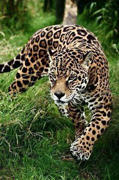 Stunning portrait of jaguar big cat Panthera Onca prowling through. Stunning portrait of jaguar big cat Panthera Onca prowling through long grass in captivity Stock Photo - 14753046 Beautiful Cats, Animals Beautiful, Majestic Animals, Animals And Pets, Cute Animals, Gato Grande, Exotic Pets, Animal Photography, Nature Photography