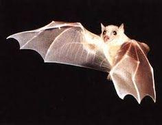 Risultati immagini per immagini pipistrelli vivi