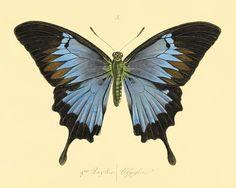 Blue Butterfly art Print poster Nature art print by AntiqueWallArt