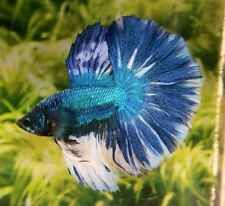 H35 Thai Import Blue Marble Multicolor Halfmoon HM Male Betta Splendens Fish