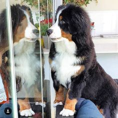 I'm not sure if I'd rather see myself or go outside #lacyandpaws @kluesokapel_bmd  #throwback  #whyhellothere#hi#seeingdouble#minime#twins #throwbackthursday#tb#throwback#silly#cute #fluffy#berner#puppy#bernerlove#bernesedaily #instadog#puppiesofig#bernersennenhund  #fluffylove#dog#lovehimsomuch#reflection#hiya #helloisitmeyouarelookingfor#kluesokapel