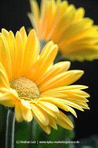 """Die Idee zu """"365 Tage Gelb"""": #gelb, sonne, blume, gerbera"""