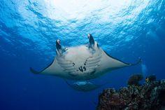 favorite manta ray...big bertha!