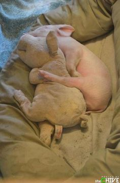 its official... i want a piglet. d-awwww-aka-cute-animals