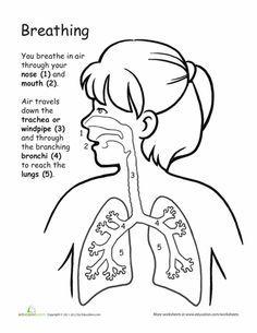 Worksheets: How We Breathe: Awesome Anatomy