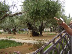 Ancient olive trees in the Garden of Gethsamene