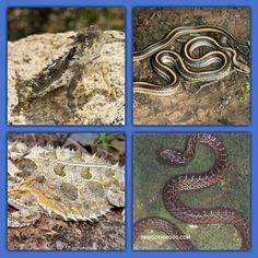El lagarto cornudo del desierto de sonora cuida a sus huevos mientras la serpiente salvadora occidental amenaza, el lagarto la agrede y esta huye. Ahora llega la serpiente latigo que come lagartos; el lagarto lo sabe, así que se infla y hace parecer mas alta, la serpiente confundida se va.