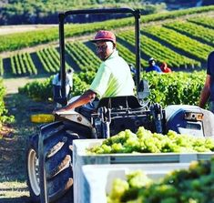 After several weeks of exciting harvest activity in the Bouchard Finlayson vineyard, the grapes are in, the dust is settling and the focus returns to the cellar. Harvest Activities, Chardonnay Wine, Colby Cheese, Past Tens, Great White Shark, Sauvignon Blanc, Whale Watching, Walking In Nature, Cellar