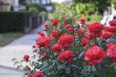 Cum sa ne cream si ingrijim propria gradina de trandafiri- Inspiratie in amenajarea casei - www.povesteacasei.ro
