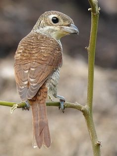 The Tiger Shrike or Thick-billed Shrike (Lanius tigrinus) is a small passerine bird which belongs to the genus Lanius in the shrike family, Laniidae. It is found in wooded habitats across eastern Asia. It is a shy, often solitary bird which is less conspicuous than most other shrikes. Like other shrikes it is predatory, feeding on small animals. Its nest is built in a tree and three to six eggs are laid.