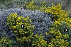 1 : Coronilla glauca  2 : Teucrium fruticans  3 : Cistus albidus