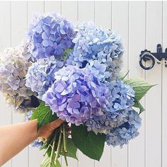We love #hydrangeas too! #Regram from @abbycapalbo #bluehydrangeas #flowers…