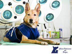 Beneficios de esterilizar a tu mascota. LA MEJOR CLÍNICA VETERINARIA DE MÉXICO. Esterilizar entre los 3 y los 6 meses prolongan la vida de un perro y la vuelve más saludable. La recuperación es más rápida y en las hembras: esterilizarlas antes de la primera etapa de celo, es lo mejor. De esta manera reducimos en un 100% el riesgo de que sufra cáncer de mama y evitamos infecciones en el útero. En Clínica Veterinaria del Bosque, te brindamos dicha asesoría ya que contamos con médicos expertos…