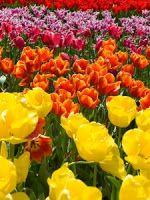 Tulipan - uprawa i pielęgnacja: Klasyfikacja tulipanów