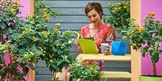 De perfecte manier om (meer) vlinders en bijen naar je tuin te lokken? De Zuid-Amerikaanse Lantana trekt ze aan als een magneet. De plant, onlangs uitgeroepen tot Terrasplant van het Jaar 2017, heefteenrelatief hoge nectarproductie. Hierdoor is de Lantana een trekker voor vlinders, honingbijen, hommels en libellen. Tuin vol kleuren De Lantana wordt ook wel…