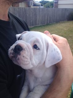 Evie the Australian bulldog, 5 weeks. Big Animals, Happy Animals, Puppies And Kitties, Bulldog Puppies, Australian Bulldog, Cute Creatures, Beautiful Dogs, Pet Birds, Animal Pictures