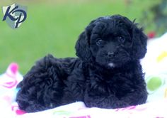 Black Cavapoo Puppies For Sale