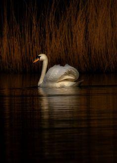Swan #HelloBrown